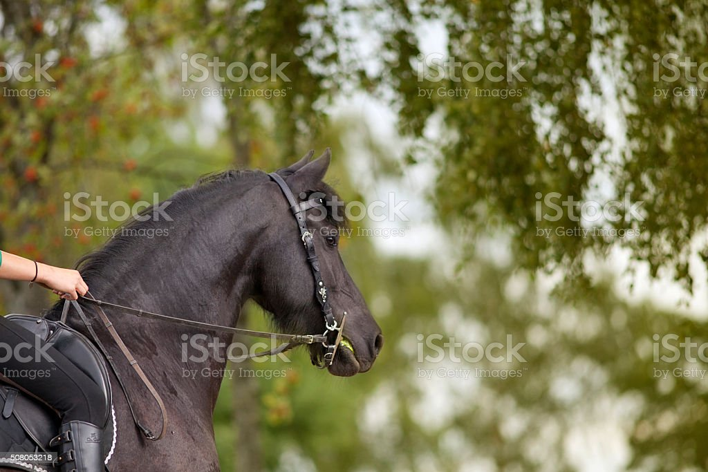 Horse riding outside with black frisian in summer stock photo