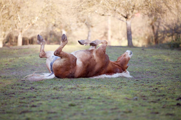 horse roll an lay in sand stock photo