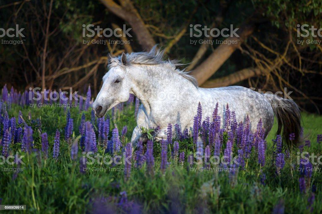 Horse running among lupine flowers. stock photo