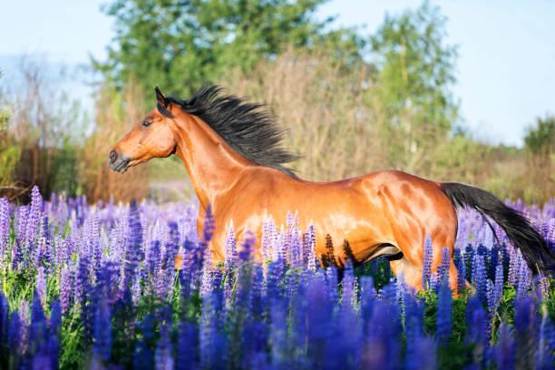 pferd rennen unter lupinen blumen. - andalusier pferd stock-fotos und bilder