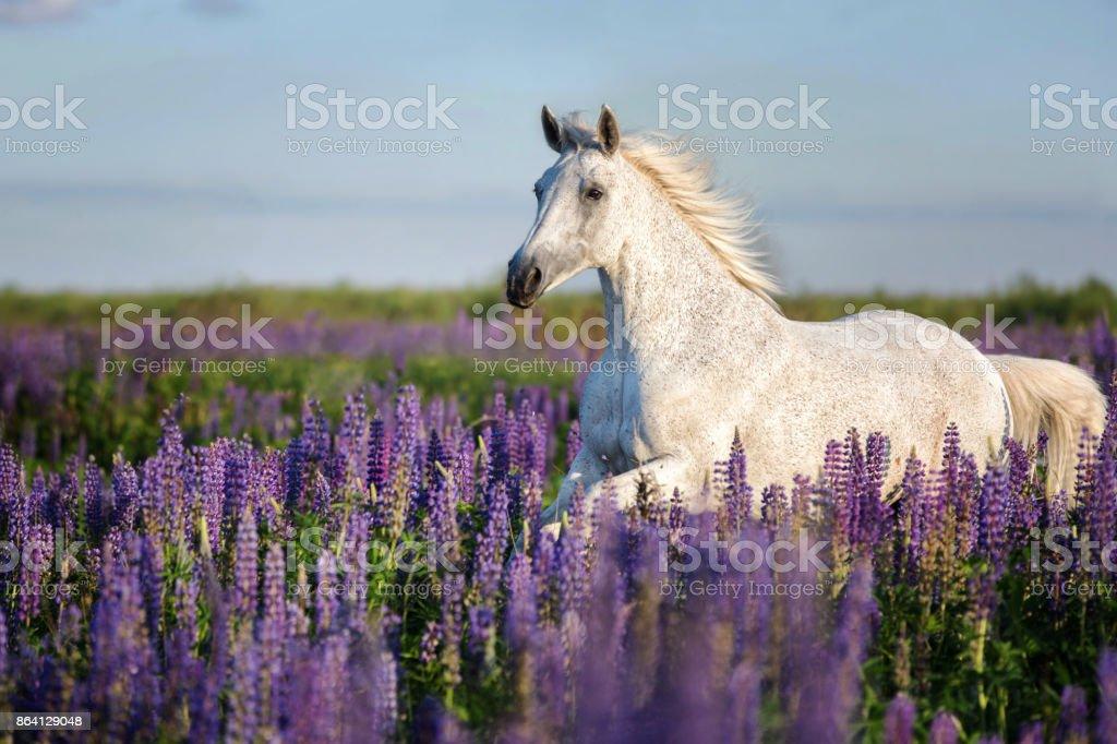 Horse running among lupine flowers. royalty-free stock photo