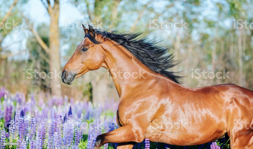 Horse running among lupine flowers. stock photo