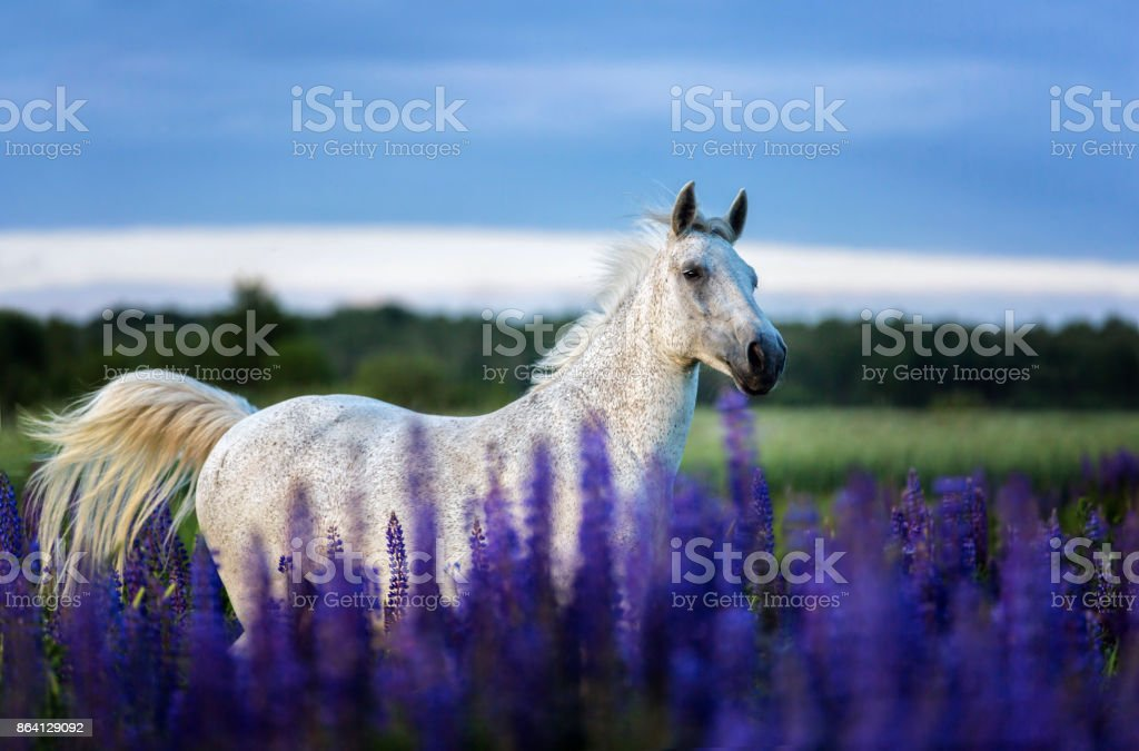 Horse running among lupine flowers. royalty-free stock photo