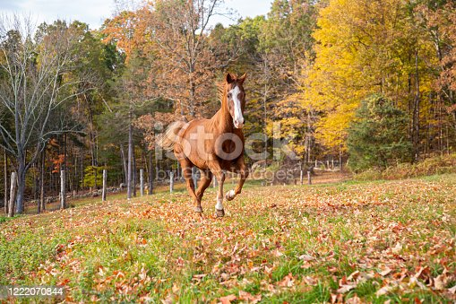 A beautiful fall morning setting depicting a horse running in a pasture at the command if his trainer.