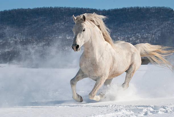 pferd läuft im schnee, kraft und bewegung, weißer hengst freiheit - farbe gegen schimmel stock-fotos und bilder