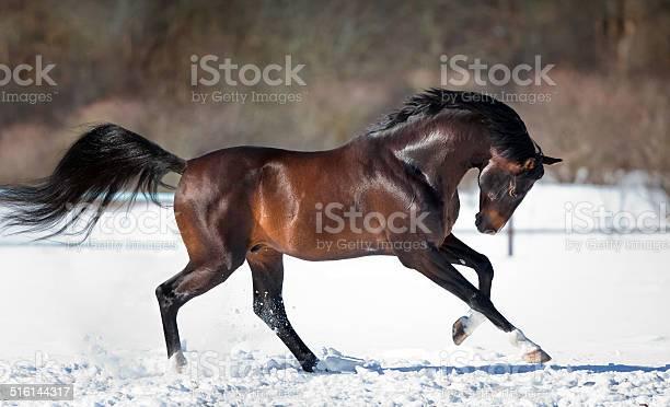 Horse running in the snow picture id516144317?b=1&k=6&m=516144317&s=612x612&h=ji qkzyo5x4imhywquqwuwpcdkqeslnrgtwnkzoe xe=