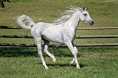 Horse Running with Mane Flying, Beautiful White Arabian Stallion