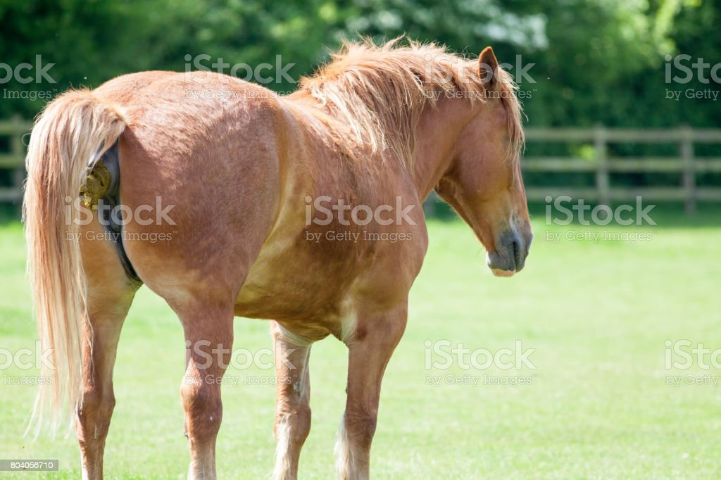 Horse shit. Animal shitting in a field. Funny animal meme image for political comment! stock photo