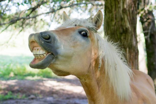 pferd zeigt seine zähne - lustige pferde stock-fotos und bilder