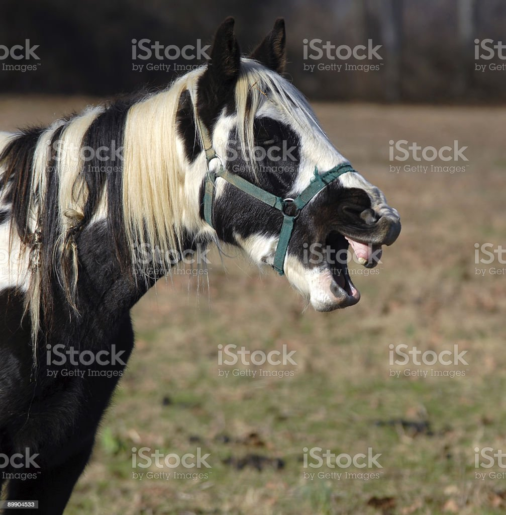Horse Showing Teeth royalty-free stock photo