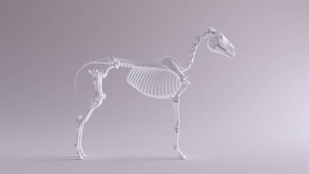 Horse skeletal system anatomical model right view picture id1150435237?b=1&k=6&m=1150435237&s=612x612&w=0&h=4ktupbiiiikgbjt7n6ude0ofhmeqeise6u2tvh 0vau=