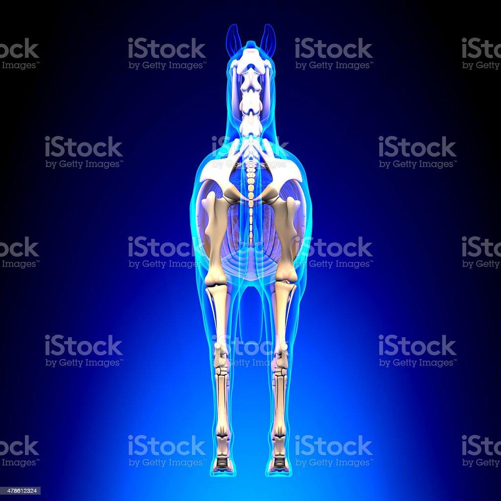 Fotografía de Horse Esqueleto Vista Posterior De La Anatomía ...