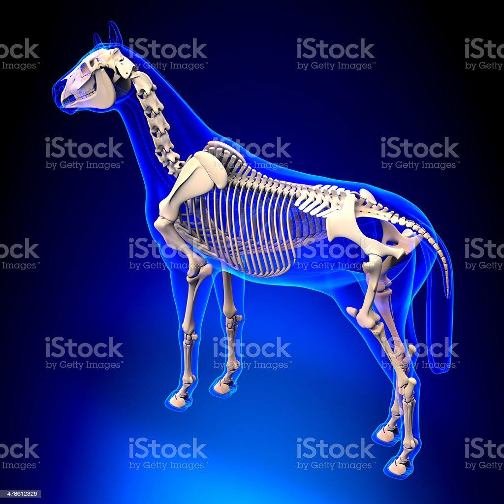 Horse Skeleton - Horse Equus Anatomy - on blue background stock photo
