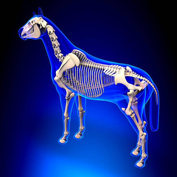 """horse construction """"squelette"""" apparente cheval equus anatomie sur fond bleu - sternum photos et images de collection"""