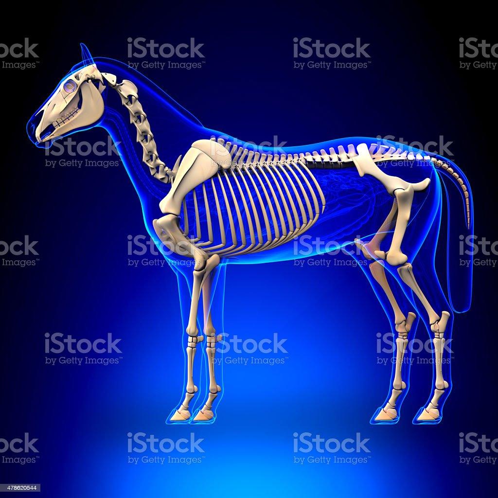 Fotografía de Horse Esqueletocaballo De Anatomía Equusen Fondo Azul ...