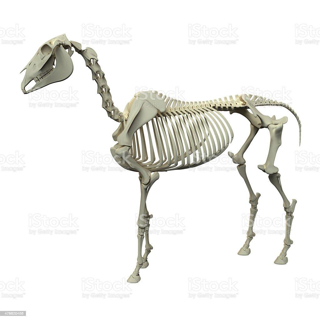 Fotografía de Horse Esqueletocaballo Equus Anatomía y más banco de ...