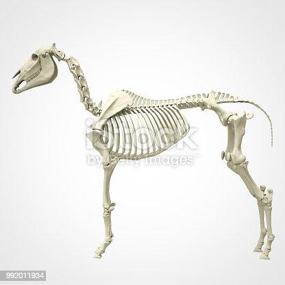 istock Horse skeleton 992011934