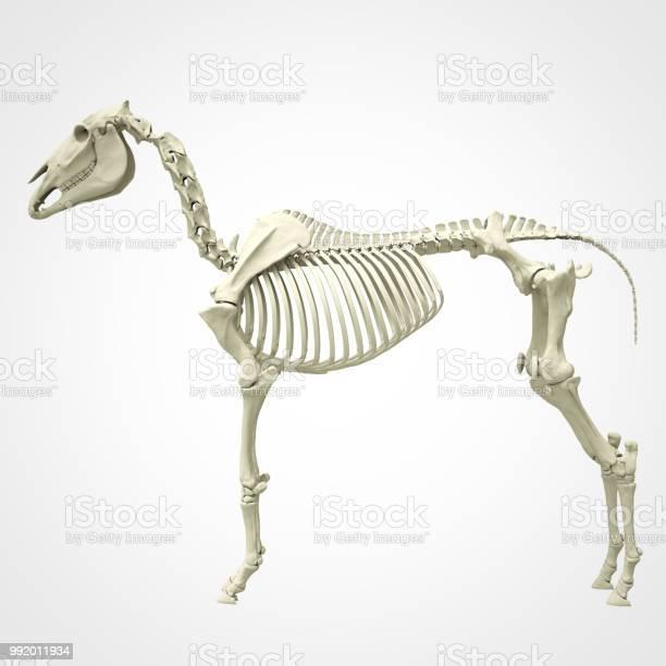 Horse skeleton picture id992011934?b=1&k=6&m=992011934&s=612x612&h=sgkrp2czh u5rimxsyhvtskrfsmg0njfgz8y 5lqqvg=