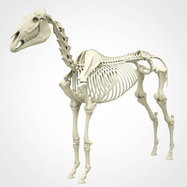 Horse skeleton picture id992011936?b=1&k=6&m=992011936&s=612x612&w=0&h=dhqwd4iwfpkhfakgmr6tc8c6cvatxueyhryi0jkvess=