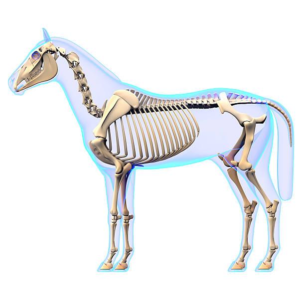 horse skeleton vue latérale de l'anatomie cheval equus - sternum photos et images de collection