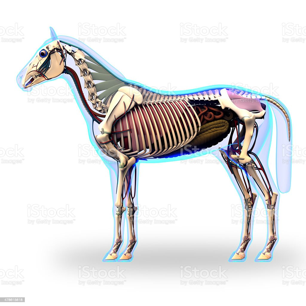 Horse Skeleton Side View With Organs Horse Equus Anatomy Stock Photo ...