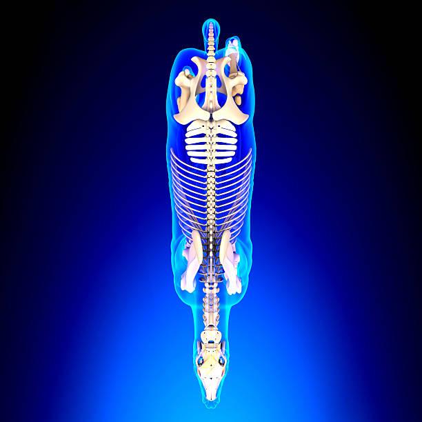 cheval squelette sur le dessus à cheval equus anatomie - sternum photos et images de collection