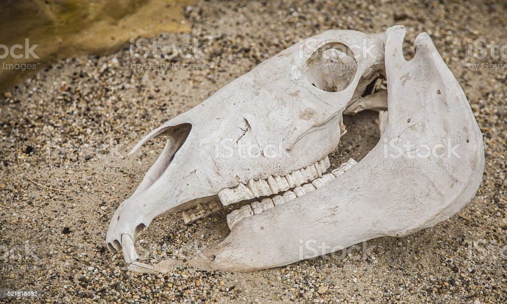 Horse Skull Anatomy Head Stock Photo & More Pictures of Anatomy   iStock
