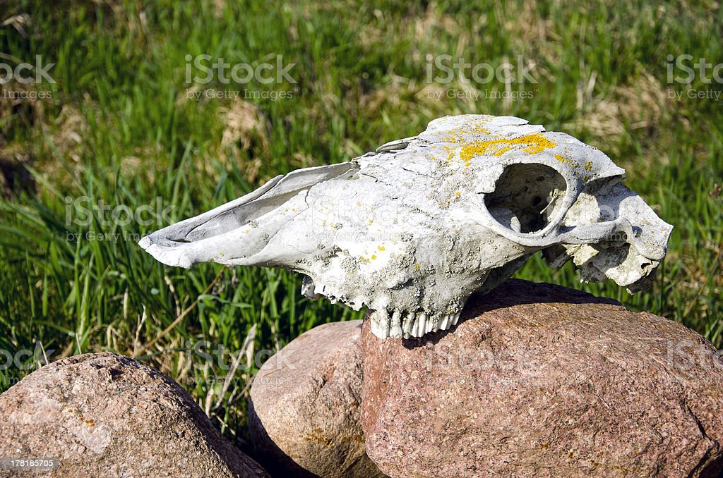 Horse Skull On Garden Stone Stock Photo & More Pictures of Anatomy ...