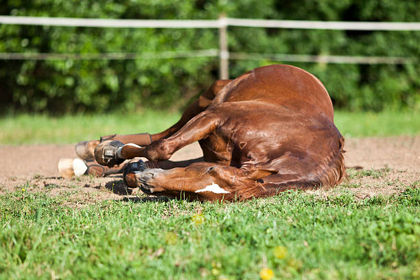 Horse sleep on meadow stock photo