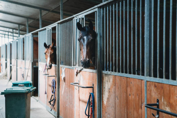 Horse stalls in a horse riding school Horse stalls in a horse riding school. Some horses are peeking through their windows. working animal stock pictures, royalty-free photos & images