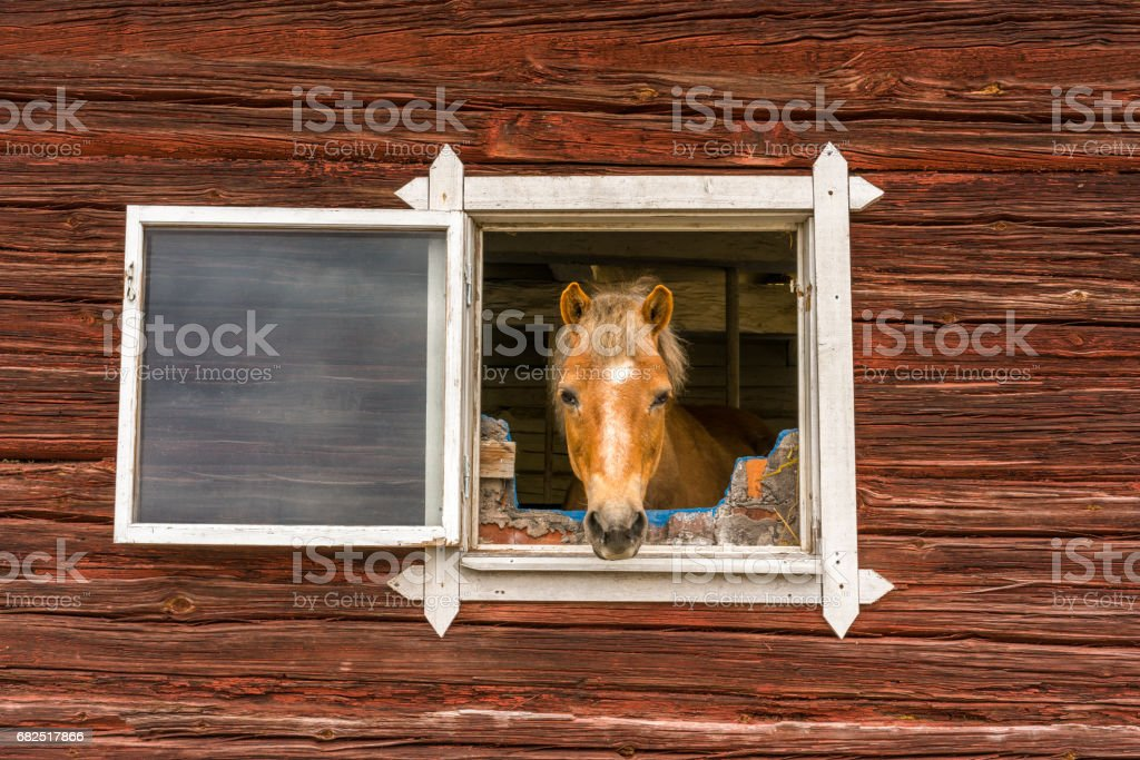 Horse sticks his head through a window and looks into the camera outdoors. Old window frame on red worn wooden barn wall. stock photo