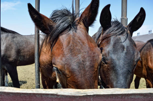 Horses Mating Close Up Stock Photos, Pictures & Royalty ...
