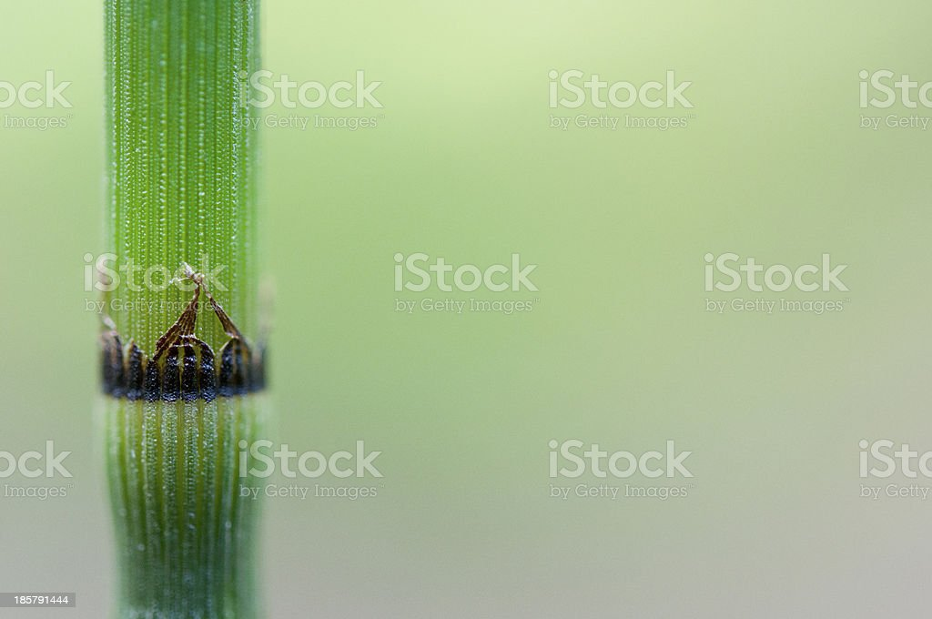 Horse Tail Plant royalty-free stock photo