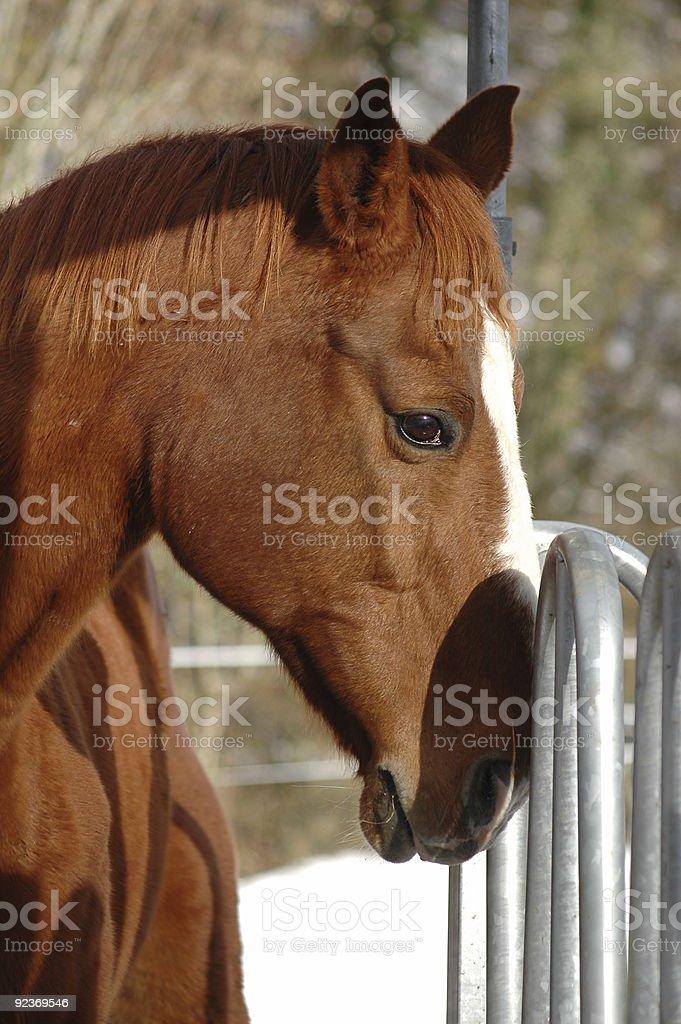 Horse Thinking royalty-free stock photo