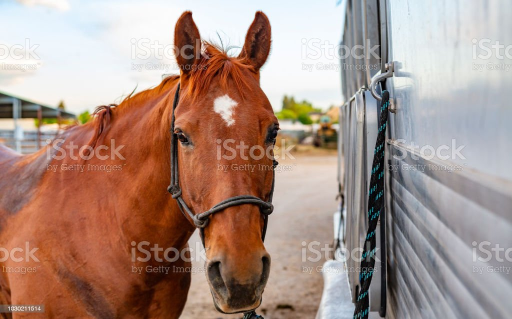 Horse Tied to a Trailer Ready For Riding on a Ranch stock photo