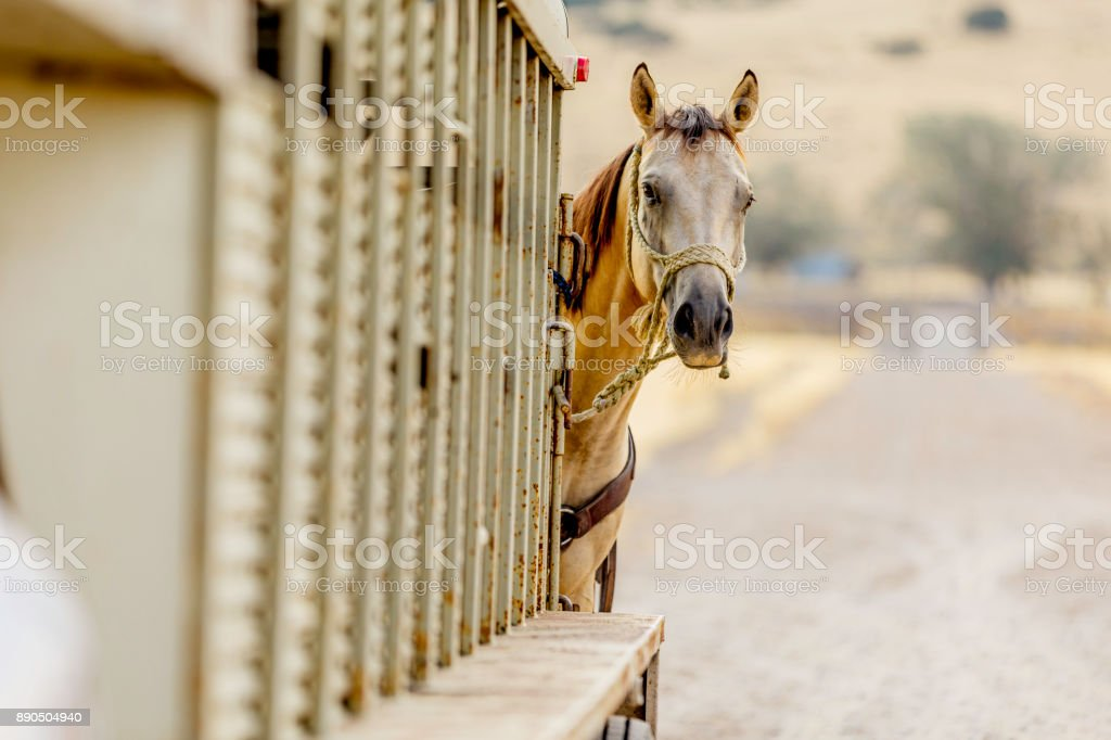 Horse Tied to Trailer stock photo