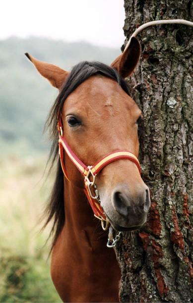 Horse tied to tree candaoso rapa das bestas viveiro galicia spain picture id1147316683?b=1&k=6&m=1147316683&s=612x612&w=0&h=wqdphia1vvaeahg2jpt3ym6bl7g4 zf c27oeqgm be=