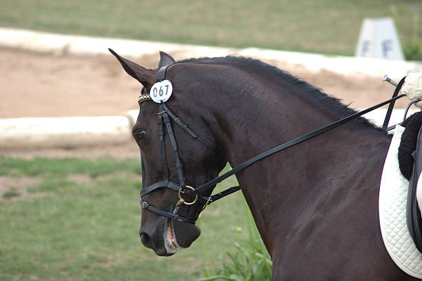 horse trot - horse bit stock photos and pictures