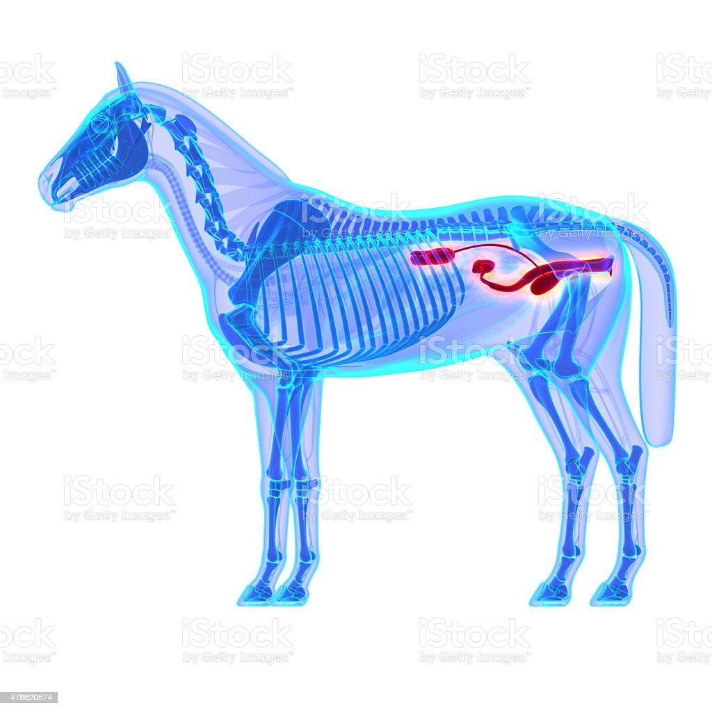 Horse Urinary System - Horse Equus Anatomy stock photo