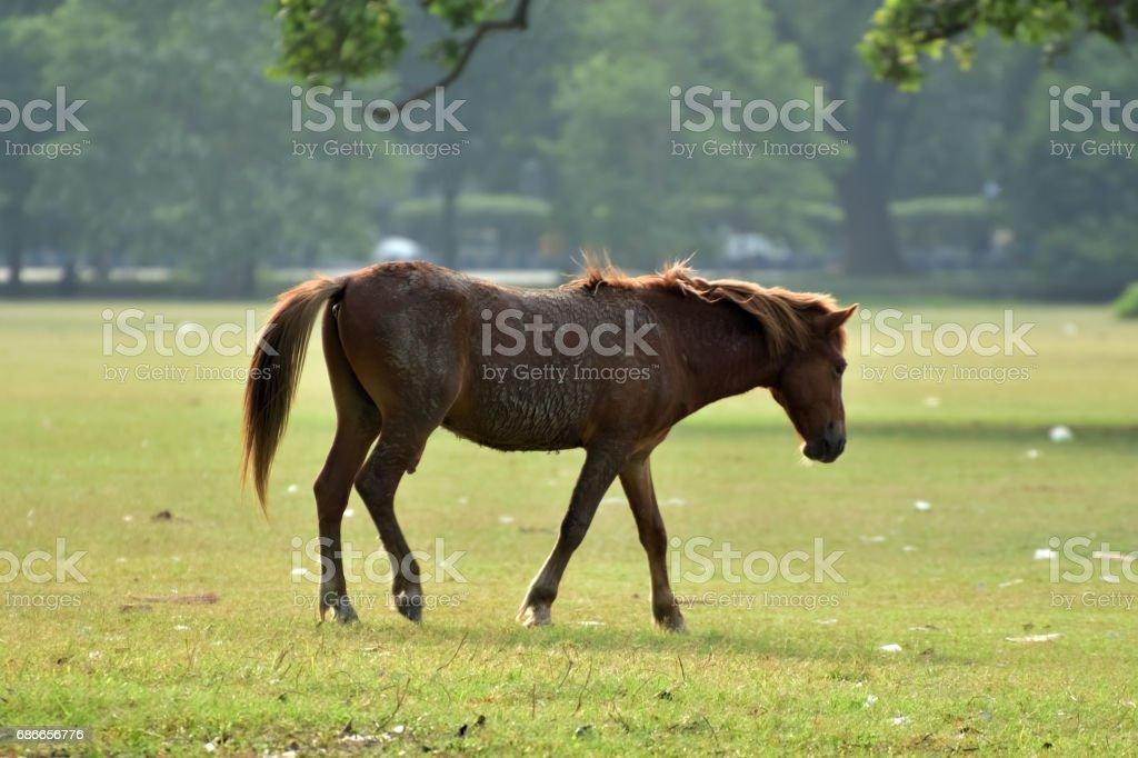 Horse walking royalty-free stock photo