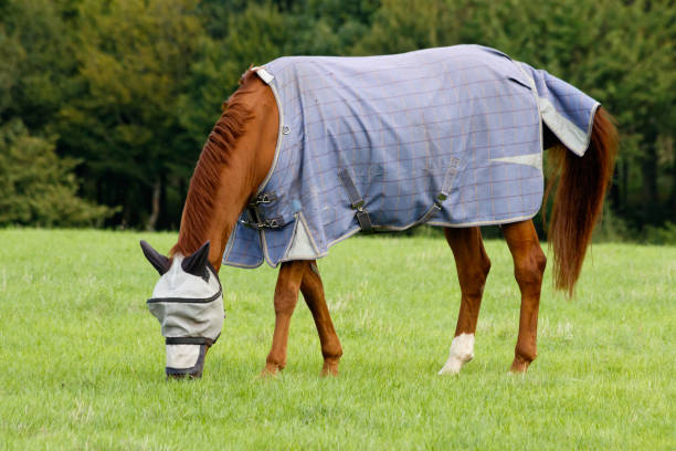 Horse wearing a fly hood grazing stock photo
