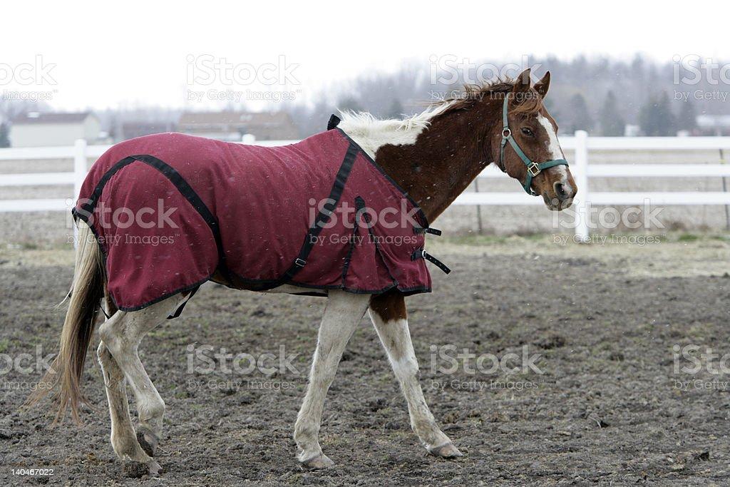 Horse wearing blanket stock photo