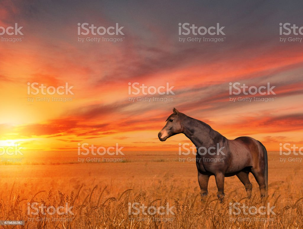 Horse Wheat Field Sunset Stock Photo Download Image Now Istock