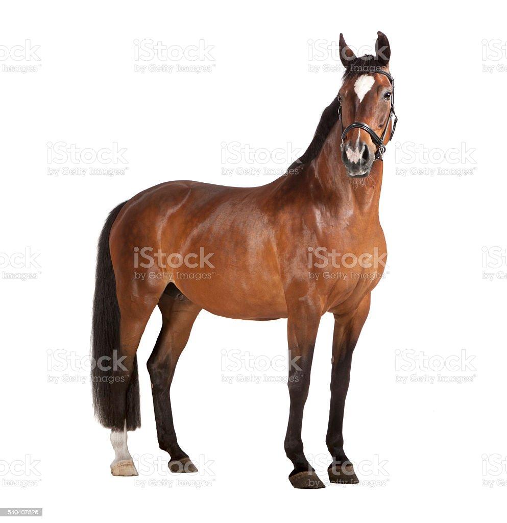 Horse white background stock photo