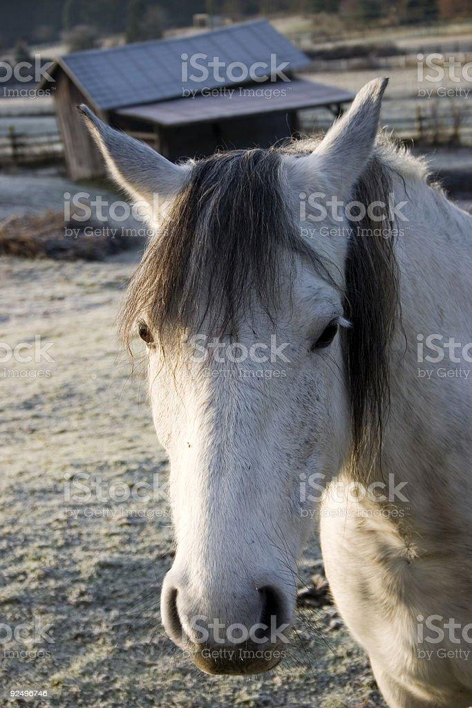Horse Winter Morning royalty-free stock photo