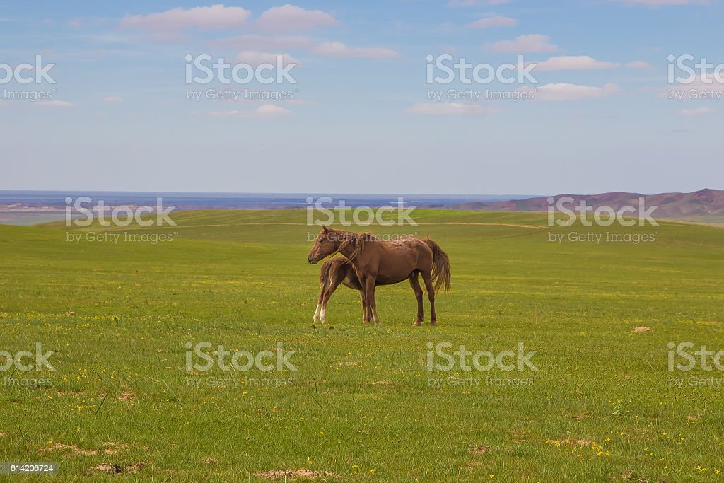 Horse with a foal in the steppes of Kazakhstan stock photo