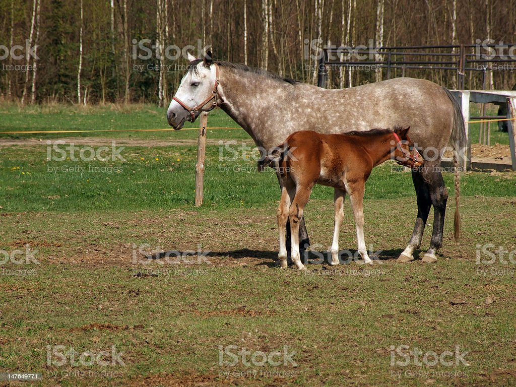 Horse with a foal royalty-free stock photo