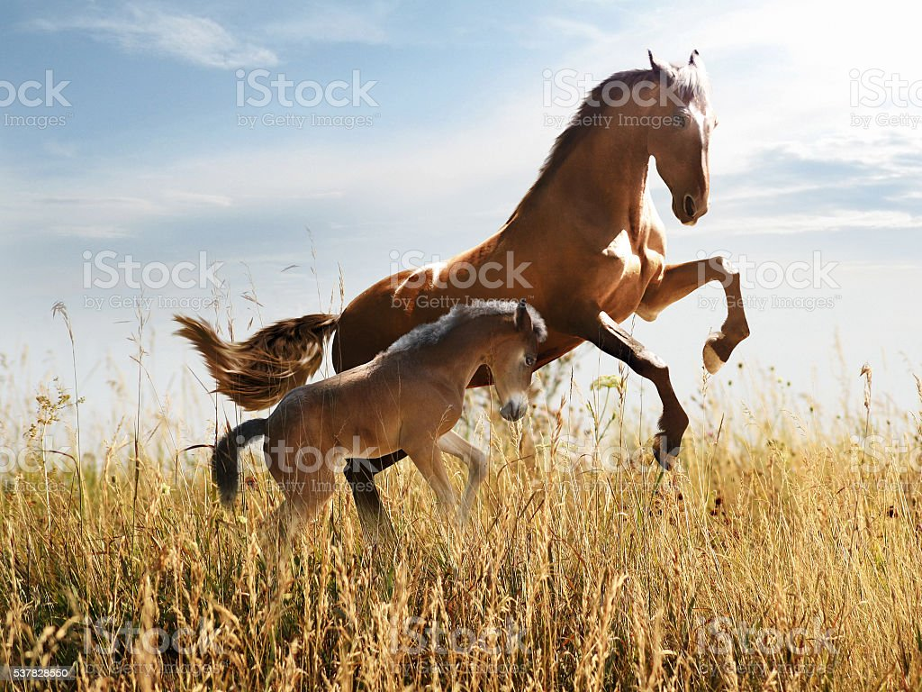 horse with a foal skips in the tall grass stock photo
