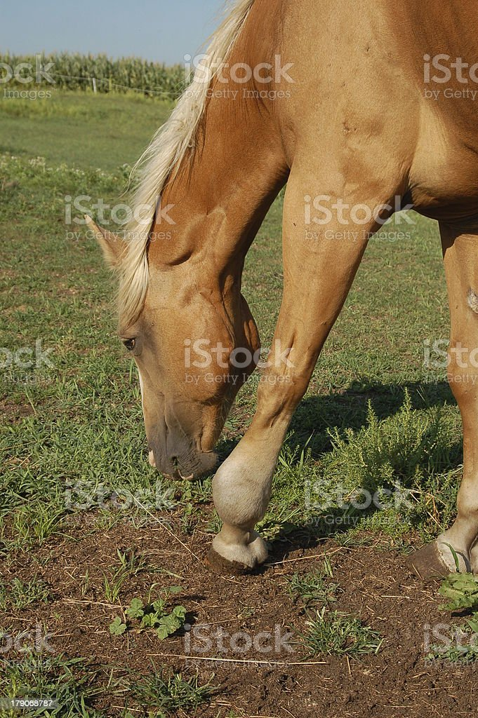 Horse with Ankle Injury stock photo