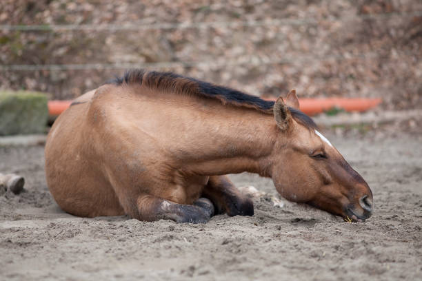 Horse with colic lay down and sleep outside stock photo